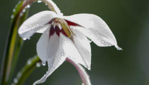 Gladiolus acidanthera