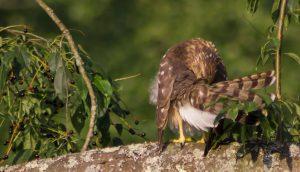Broad Wing Hawk after a summer rain