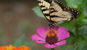 Swallowtail on a Zinnia
