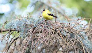 Yellow Finch Male Bird